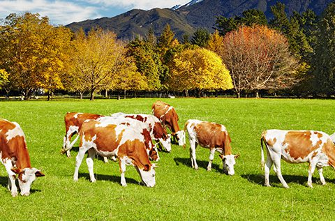 Mountain landscape with grazing cows