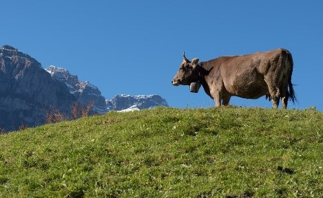 Glückliche Milch-Kuh auf der Alm