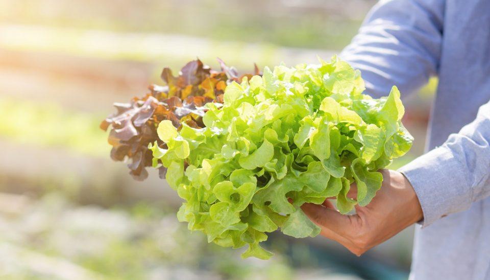 Salat_Ernte