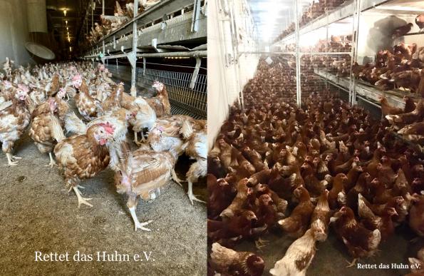 Hühner_Bodenhaltung